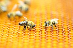 Honeybees in honeycomb Royalty Free Stock Photo