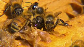 Honeybees near a lump of wax. Close up of honeybees near a lump of their wax stock footage