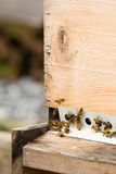 Honeybees with pollen return to hive Stock Photo