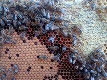 Honeybees przy pracą fotografia royalty free