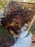 Honeybees przy pracą Zdjęcie Royalty Free