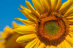 Honeybees and Sunflower Royalty Free Stock Photography