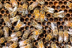 Honeybees Swarming On Comb Stock Images