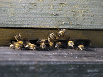 Honeybees in wood hive Royalty Free Stock Photos