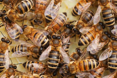 Honeybees at work Royalty Free Stock Photo