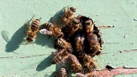 Honeybees stock footage