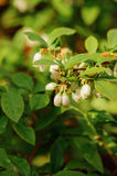 Honeyberry, as known as sweetberry, honeysucle, flowers close up in spring garden Stock Photos