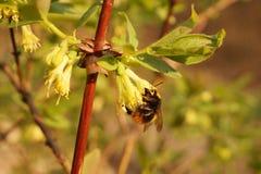 Honeyberry Lonicera caerulea-tijdens het bloeien Een uiterst belangrijk ogenblik, bestuiving van bloemen door insecten, vooral stock fotografie