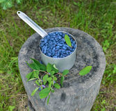Honeyberry in old ladle in the garden Stock Images