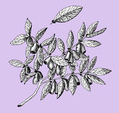 Honeyberry on purple background Stock Photography