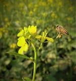 Honeybuns en bloem stock foto's