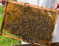 Honeycomb 1. A close-up of the honeycomb with bees. Russian Far East, Primorye Stock Image