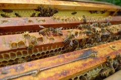 Honeycomb Zdjęcie Royalty Free