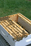 Honeycomb. Honey bees gathered on honeycomb collected from bee box Royalty Free Stock Photography