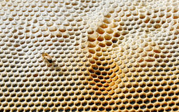 Honeycomb with bee. On it stock photography