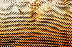 Honeycomb with bee. On it royalty free stock photos