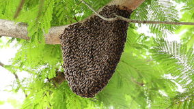 Honeycomb with bee on green tree stock footage