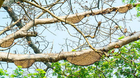 Honeycomb or beehive on the big tree. Stock Photography