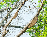 Honeycomb or beehive on the big tree. Stock Photo