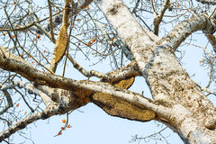 Honeycomb or beehive on the big tree. Stock Photos