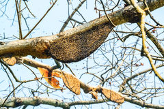 Honeycomb or beehive on the big tree. Royalty Free Stock Image