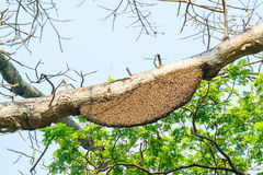 Honeycomb or beehive on the big tree. Royalty Free Stock Images