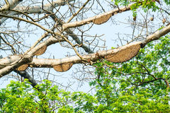 Honeycomb or beehive on the big tree. Stock Images