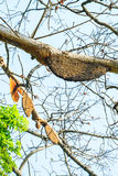 Honeycomb or beehive on the big tree in forest Stock Image