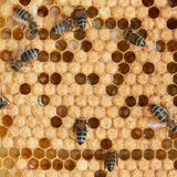 Honeycomb and bees Royalty Free Stock Photography