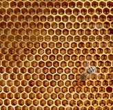Honeycomb and bees Stock Image