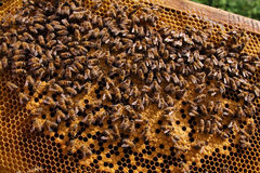 Honeycomb and bees. The Frame with honey. Much bees. Honeycomb Royalty Free Stock Images