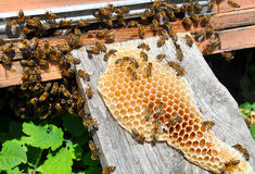 Honeycomb with bees Royalty Free Stock Image