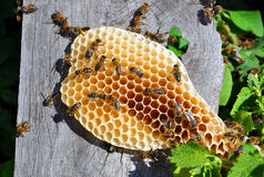 Honeycomb with bees Royalty Free Stock Images