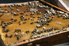 Honeycomb with bees. beekeeping. Spain stock photo