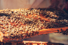 Honeycomb with bees and honey Royalty Free Stock Photos