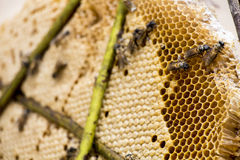 Honeycomb Bees Royalty Free Stock Photo
