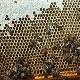 Honeycomb with bees. Natural rustic honeycomb full of honey Stock Images