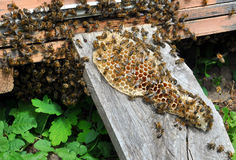 Honeycomb with bees on them Royalty Free Stock Photography