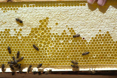 Honeycomb with bees. Bees on a white honeycomb full of honey Stock Image