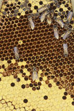 Honeycomb cells close-up with honey.  royalty free stock photography