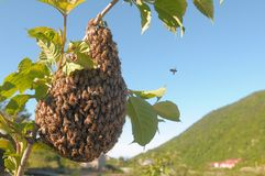A honeycomb. The honeycomb covered of bees, and bees flew around it, to construct the honeycomb royalty free stock photography