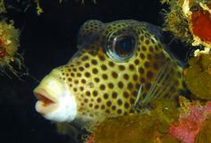 Honeycomb cowfish Royalty Free Stock Images