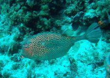Honeycomb cowfish Stock Photography