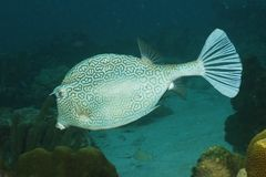 Honeycomb Cowfish - Bonaire Stock Images