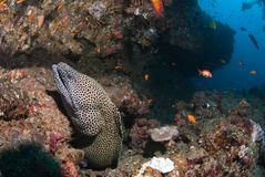 Honeycomb eel Stock Photography