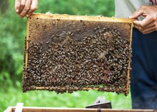Honeycomb frame with bees on it. Royalty Free Stock Photography