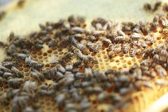 Honeycomb frame set up by bees, with lack of space for honey. Self-built bees waxed. Bee family in beehive. Bees in a hive on buil Royalty Free Stock Photos