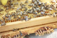 Honeycomb frame set up by bees, with lack of space for honey. Self-built bees waxed. Bee family in beehive. Bees in a hive on buil Stock Images