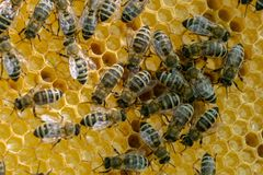 Honeycomb full of bees. Beekeeping concept. stock photos