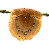 Honeycomb with honey and bee Stock Photography